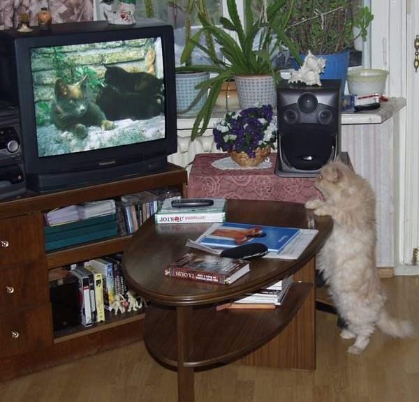 кот и телек