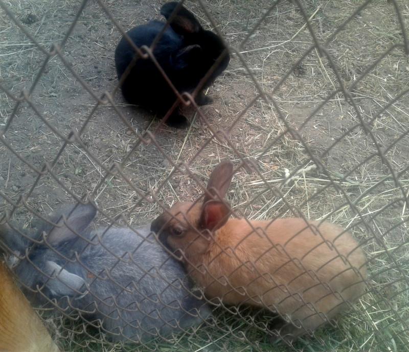 Культурные кролики, выстроились в очередь за капустой)