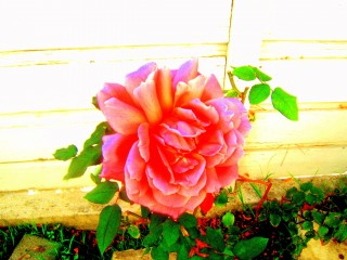 One Rose Rose Bush
