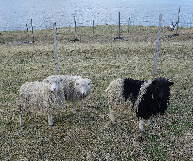 Три овцы, два человека и одна гора 38
