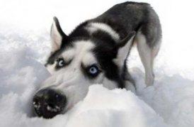 sobaka-sneg
