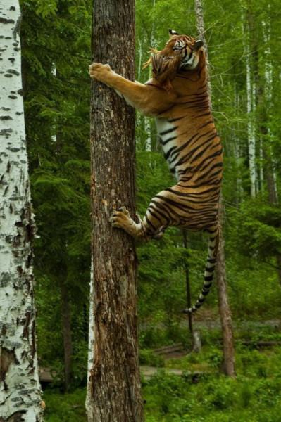 Тигр и cорока или перепелка