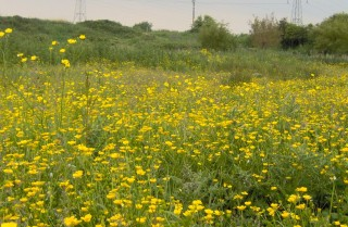 A field of yellow buttercups