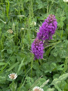Purple wild orchids