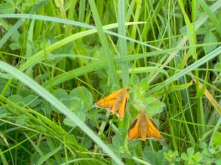 Two large skipper butterflies.