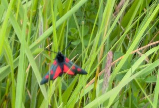 A burnet moth which is blsck with red spots