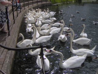 a large flock of swans on a park pond