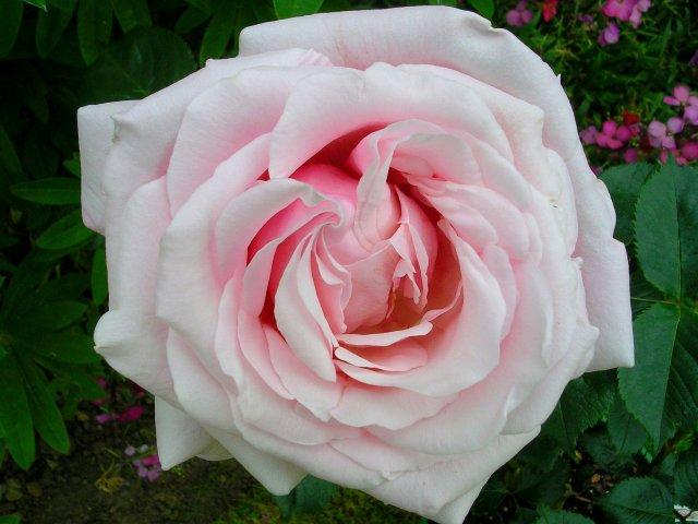 rose_anna_pavlova