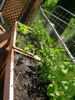 Back boxes with unripe tomatoes