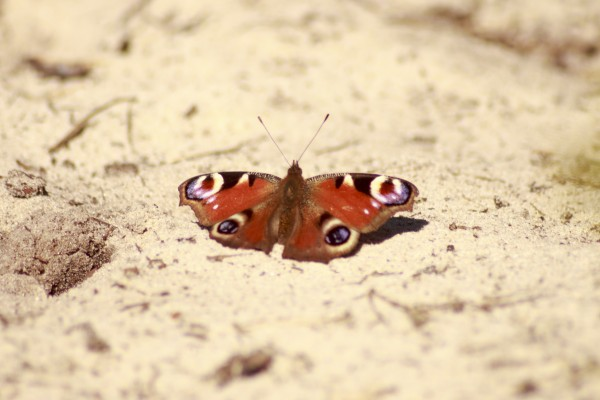 buterfly_on_the_sand_IMG_3939.jpg