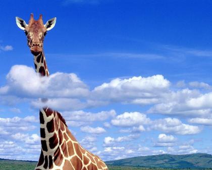 Жираф большой - ему видней