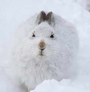 mountain-hare-2