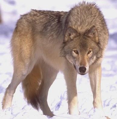 Mongolianwolf