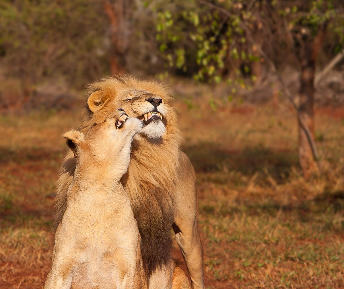 Приколы львы картинки с надписями, страстную