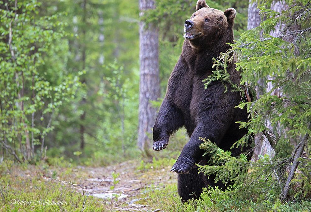 медсестра, медведь таежный фото что