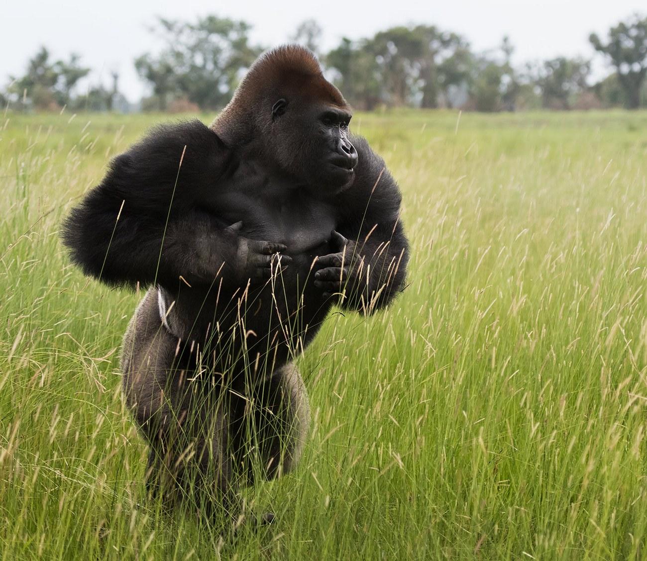 картинки про горилл лорак