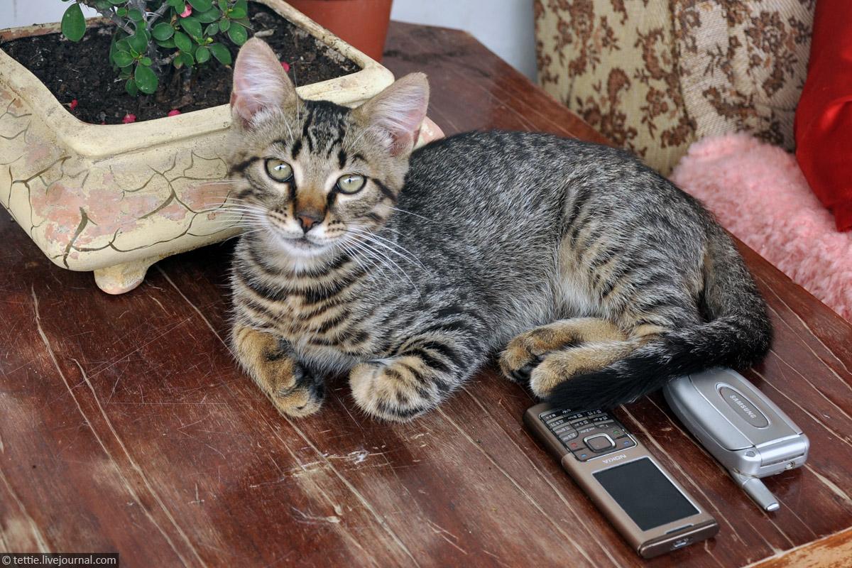 Кот с двумя мобилами