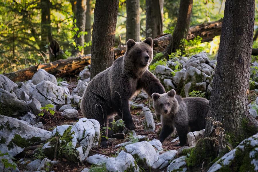 Медведь и туристка. Кто виноват?