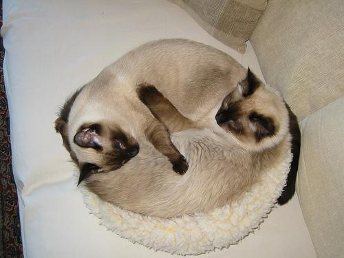Прикольные картинки кошек сиамские близнецы, кофе