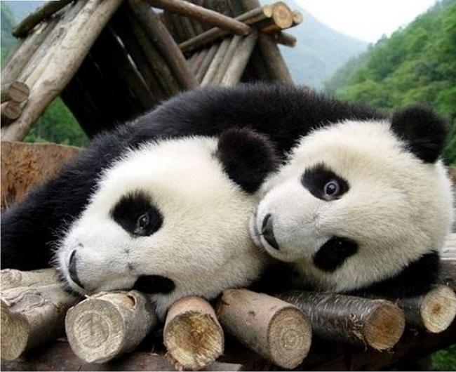 poze_animale_salbatice-ursuleti-panda