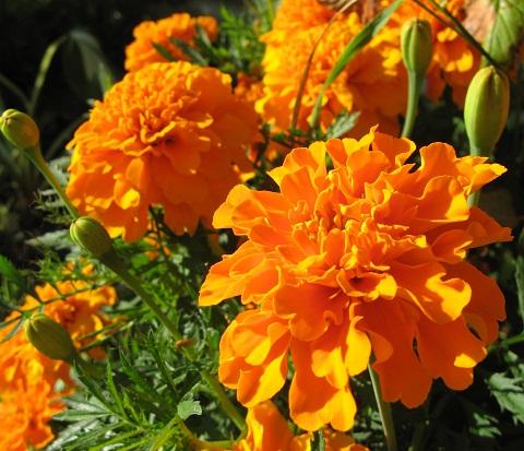 оранжевые бархотки