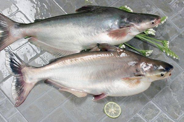 Вьетнам: 20 лет стабильного развития экспорта пангасиуса