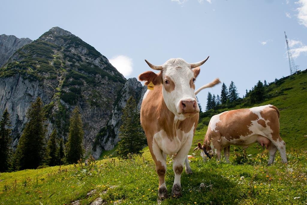Коровы на пастбище