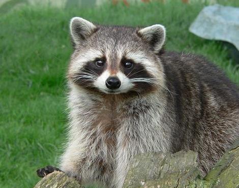 raccoon9