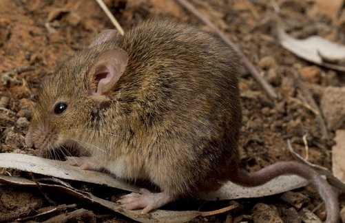Tikus-Mus-Musculus