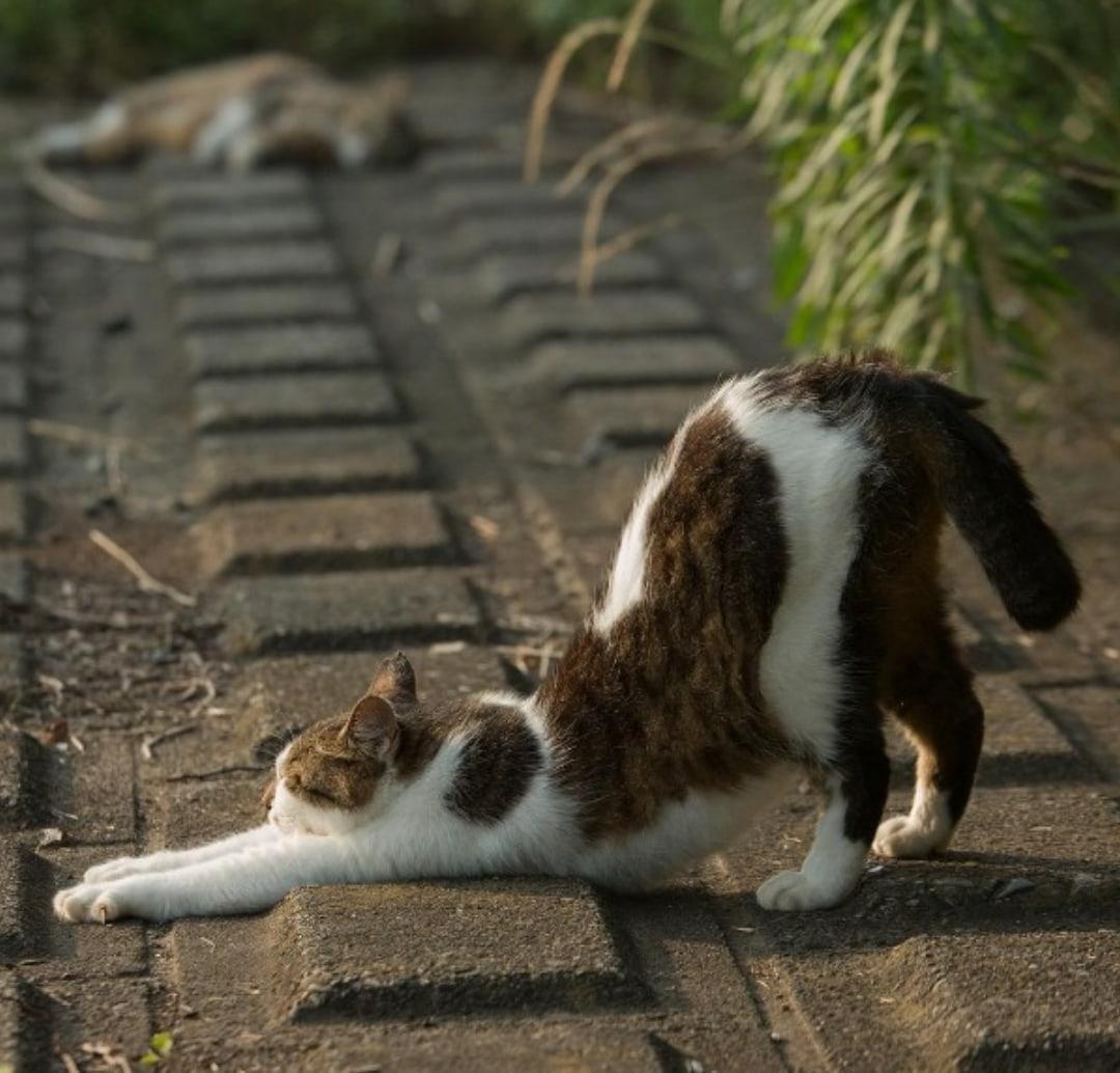 яп.коты1