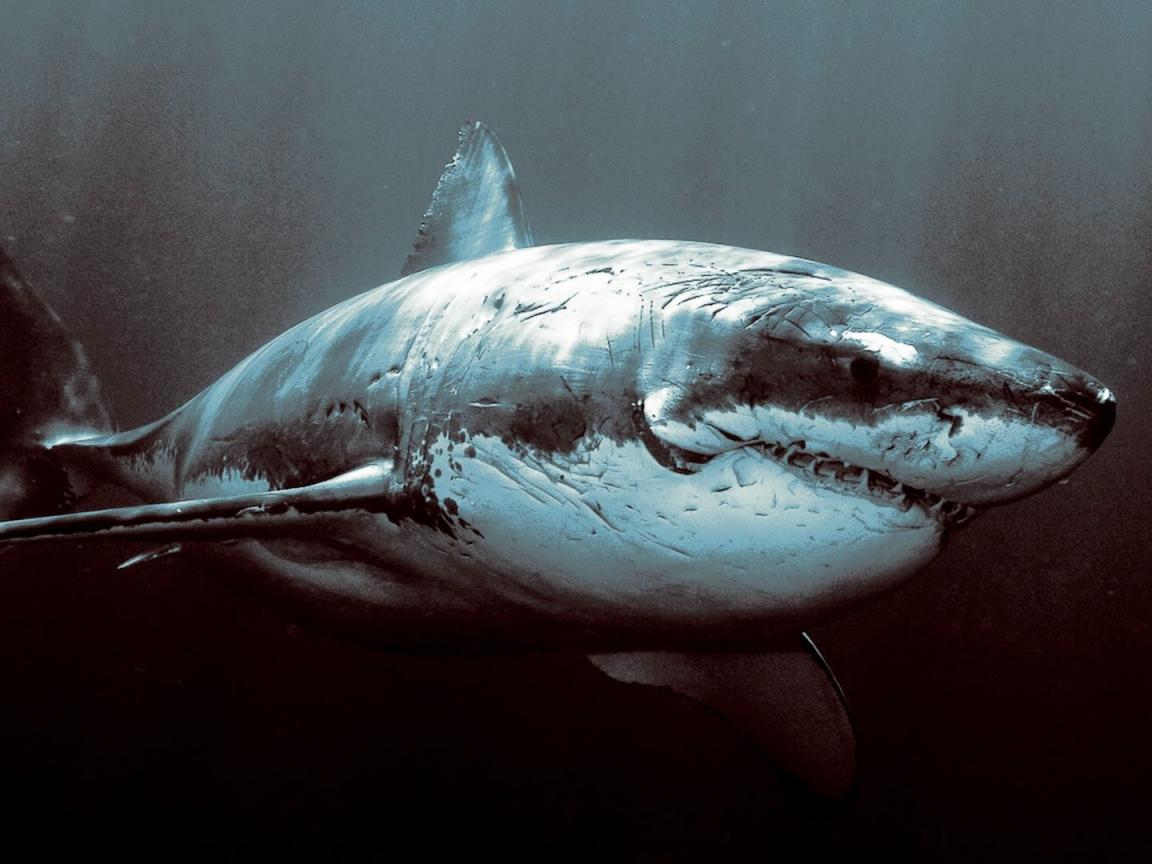Animals___Under_water_Old_shabby_shark_098229_9