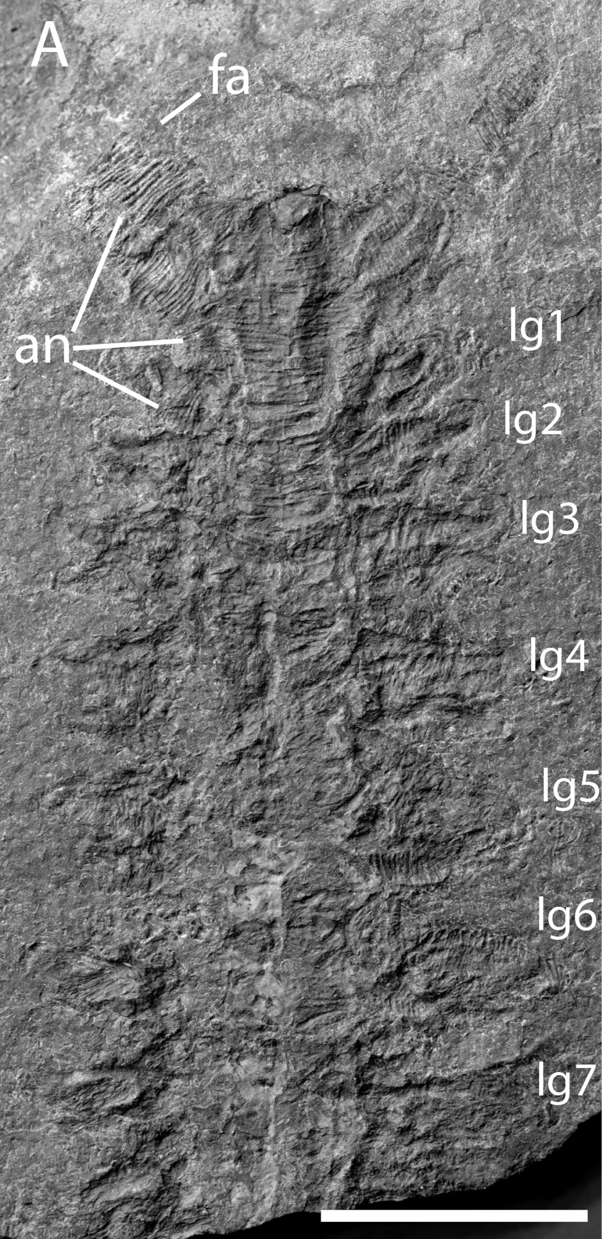 lossy-page1-1200px-Pambdelurion_fossil.tif