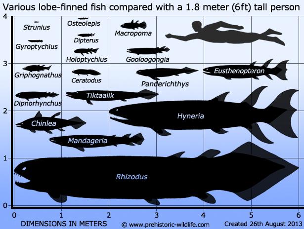 Ceratodus-Chinlea-Dipnorhynchus-Dipterus-Eusthenopteron-Gooloogongia-Griphognathus-Gyroptychius-Holoptychius-Hyneria-Macropoma-Mandageria-Osteolepis-Panderichthys-Rhizodus-Strunius-tiktaalik-size