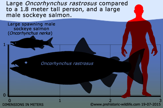 oncorhynchus-rastrosus-size