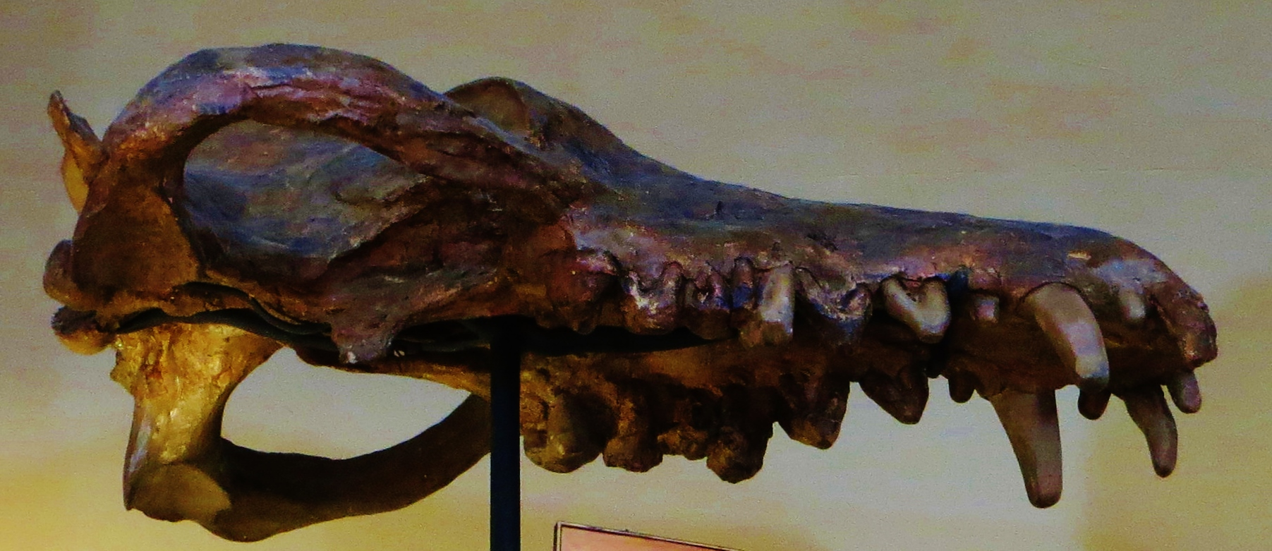 Andrewsarchus_mongoliensis_skull