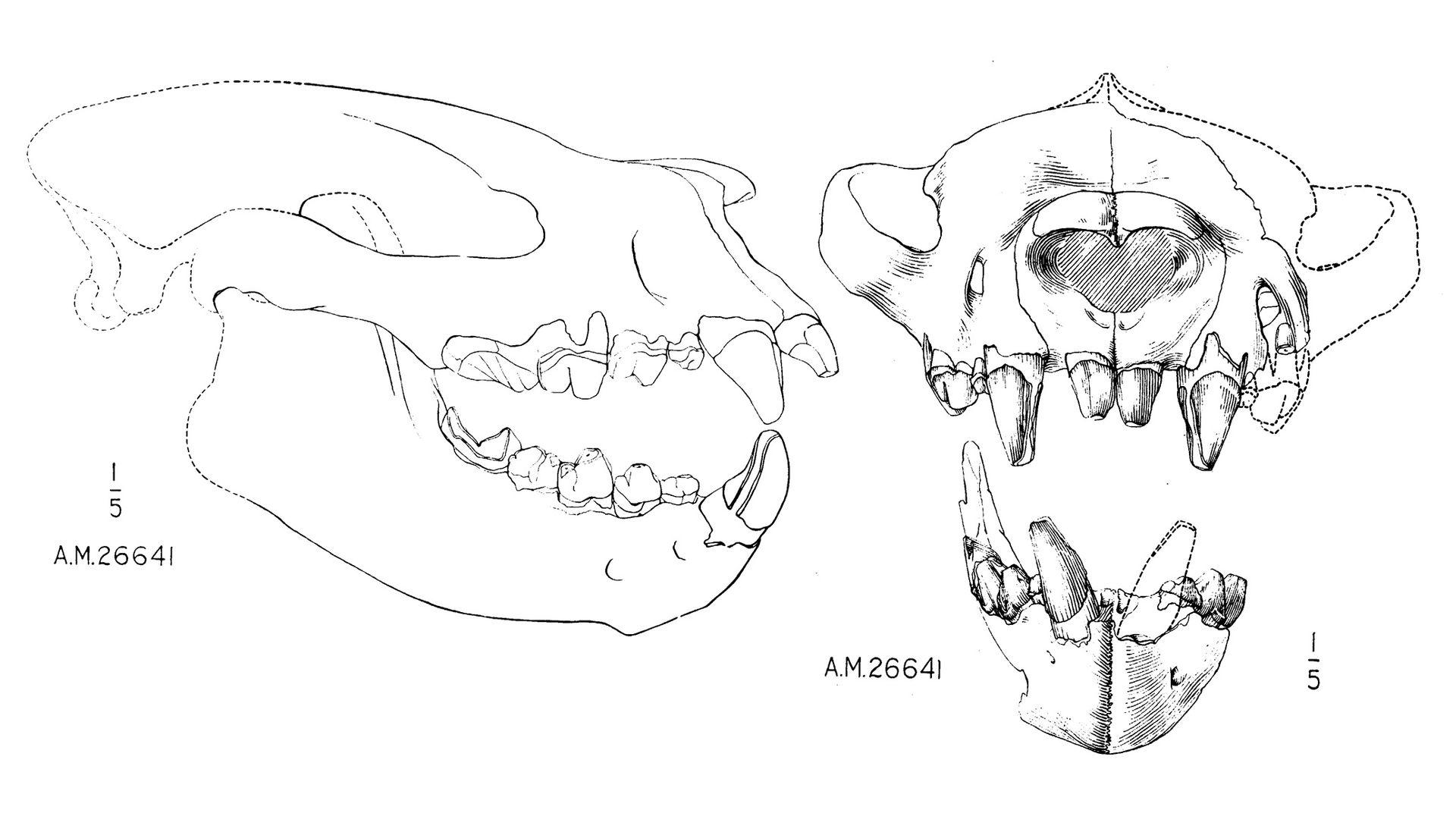 Sarkastodon_scull_AMNH