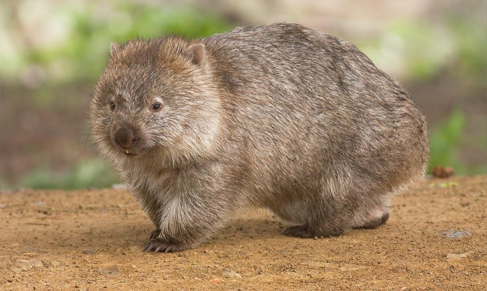 wombat_nature