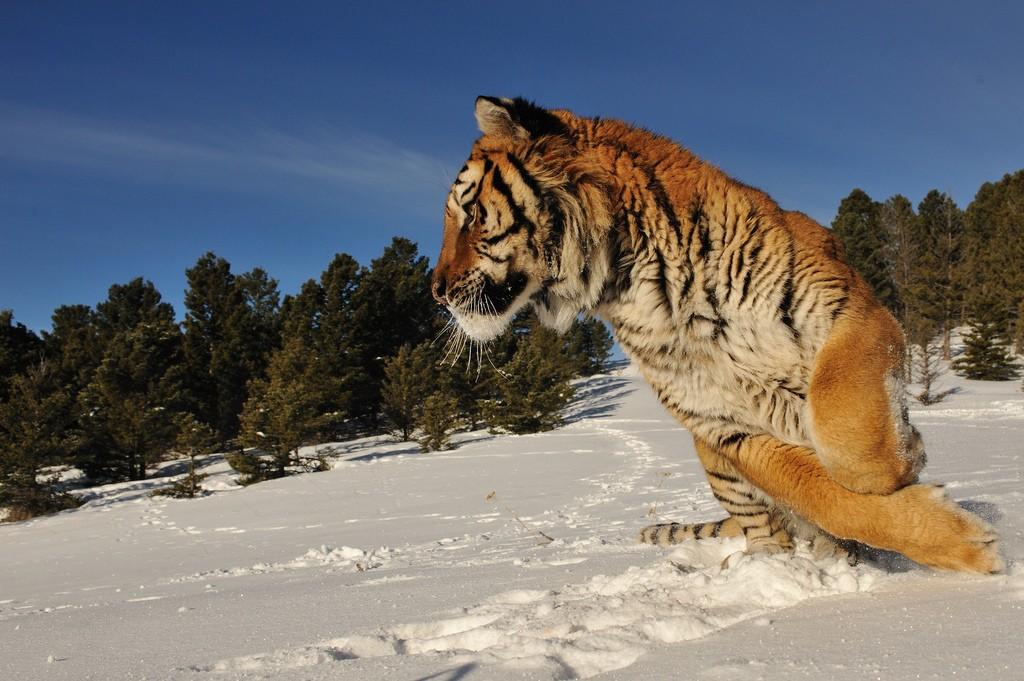 тигр8