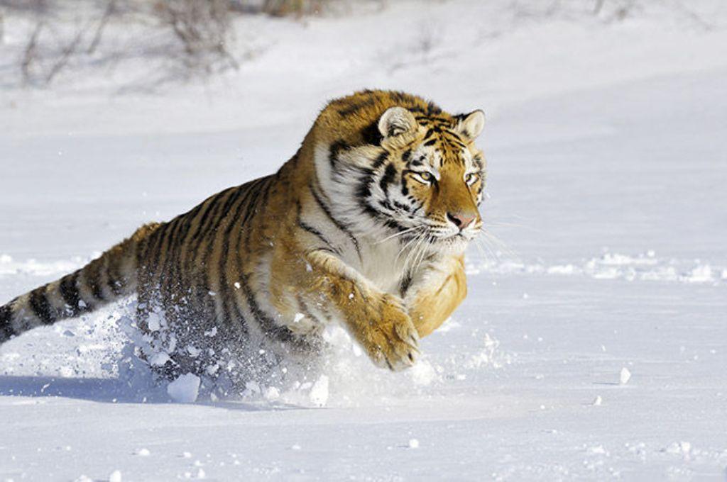 тигр10