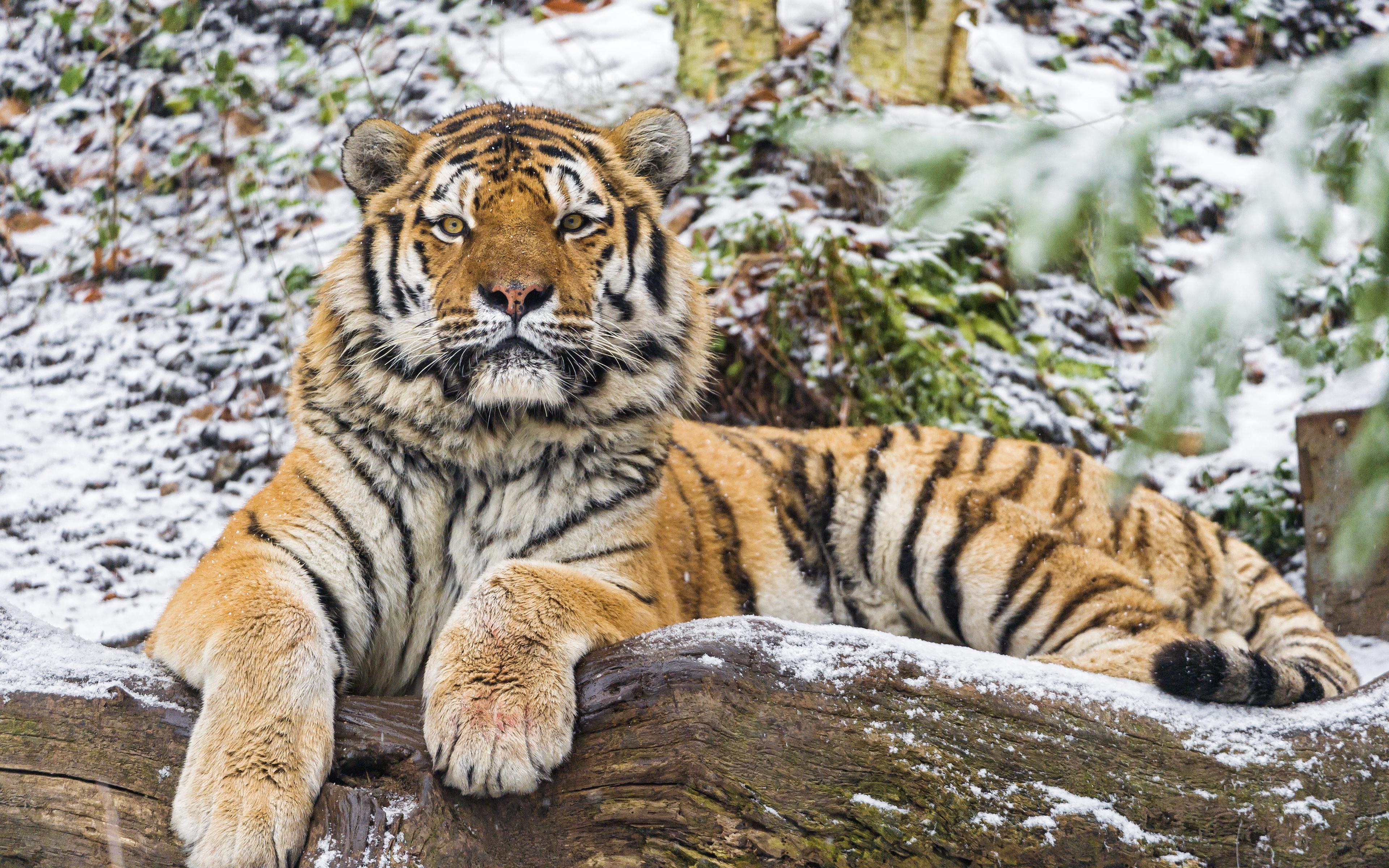 тигр91
