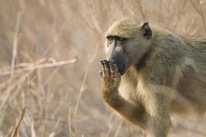 embarassed baboon