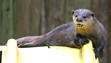Otter at the top of a slide