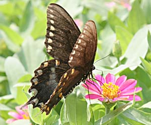 Black Swallowtail on fuscia flower
