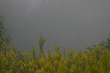 Fog over goldenrod
