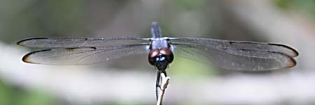 Blue Dragonfly from the front