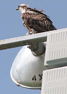 Osprey on a Light Pole