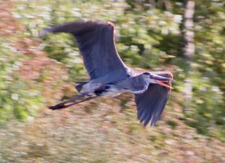 Heron in flight