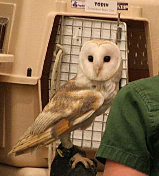 Tobin the European Barn Owl