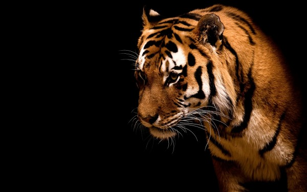 Fearless-and-Beautiful-Tiger