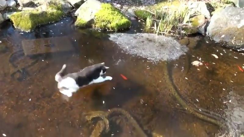 Кот отчаянно пытается поймать рыбу, которая плавает подо льдом